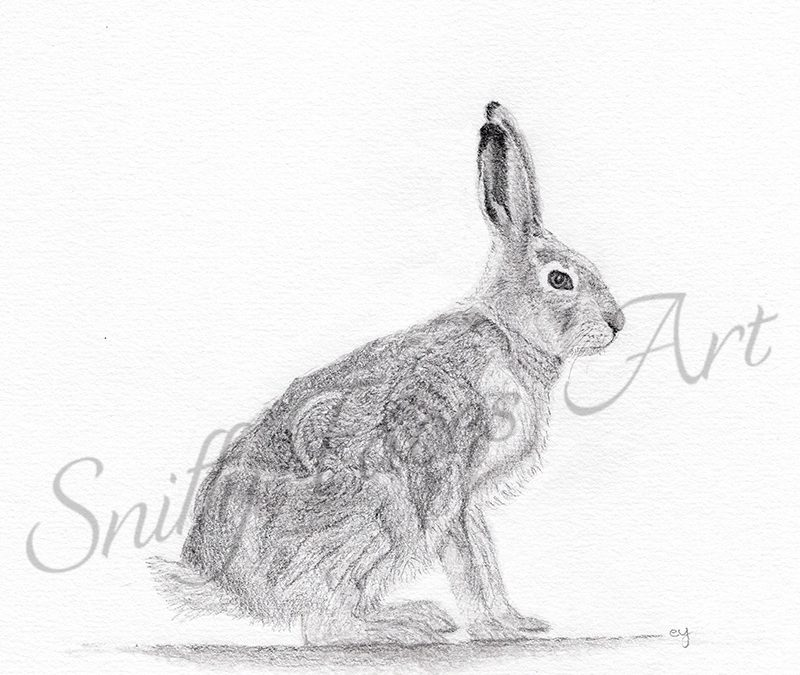 Natural History Illustration 101: Drawing a hare