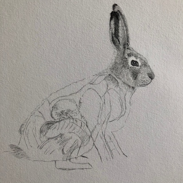 Natural History Illustration 101: Drawing a hare Sniffy Faces Art