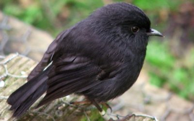 How the Black Robin became the rarest bird in the world