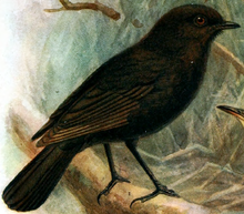 How the Black Robin became the rarest bird in the world Sniffy Faces Art
